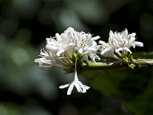 Flor Blanca