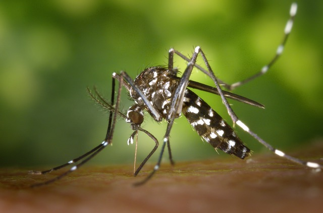 tiger-mosquito-mosquito-asian-tigermucke-sting-86722