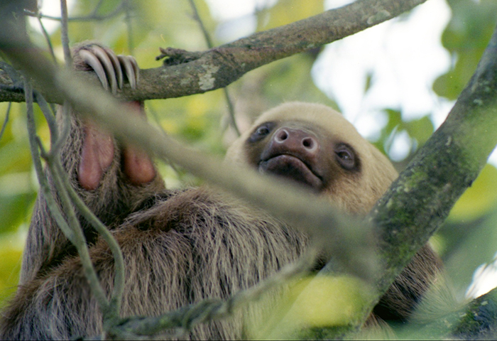 Two toed sloths in Costa Rica