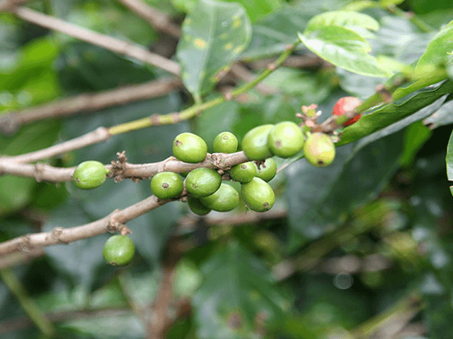 Coffee Tour, Poas and La Paz Waterfall